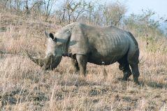 קרנף רחב שפה. צולם ב-2003 בדרום אפריקה. מתוך ויקיפדיה