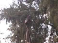 שימפנזה משתמשת במקל כדי לקטוף פירות בענפים רחוקים. תמונת נחלת הכלל מתוך ויקיפדיה