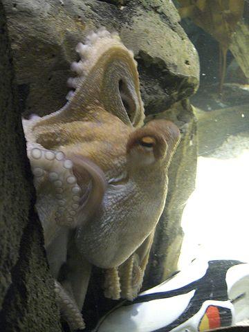 פול התמנון. מתוך ויקיפדיה