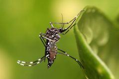 יתוש Aedes aegypti בוגר. מתוך ויקיפדיה