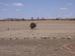 כבשים רועות באיזור ריברינה שבאוסטרליה, במהלך הבצורת של 2007. מתוך ויקיפדיה