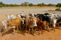 עדר פרות באדמה היבשה של בורקינה פאסו. מתוך ויקיפדיה