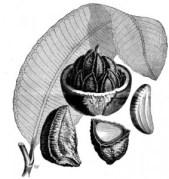 אגוזי ברזיל מכילים חלבון אלרגני – גורם אלרגיה. העברת הגן המקודד לחלבון זה לצמח אחר, גורמת גם לו להיות אלרגני. מתוך פרויקט גוטנברג