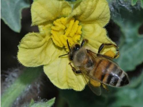 דבורי הדבש מעניקות לנו רשת ביטחון, אך המחקר מגלה כי איננו תלויים בהן. דבורת דבש על פרח אבטיח. צילום: גדעון פיזנטי, הפקולטה לחקלאות, האונ' העברית