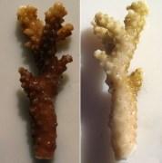 אלמוג בריא (משמאל) שנחשף לחומרים הקיימים בתכשירים מסנני קרינה הופך ללבן (מימין) לאחר מות האצות הסימביוטיות שחיו בתוכו. תצלום: רוברטו דאנוברו (Danovaro)