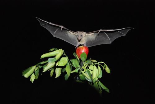 עטלף. צילום: מכון ויצמן