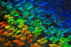 כל עצם בתמונה הוא תא בודד בעורו של דיונון, הצבע משתנה לפי עובי שכבה ייחודית בדופן התא. הכתם השחור הוא גלעין התא. צילום: אוניברסיטת קליפורניה בסנטה ברברה