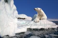 דב קוטב על קרחון. איור: shutterstock