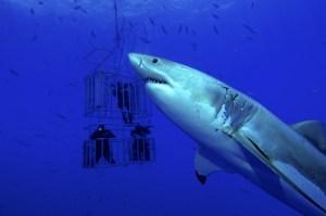 כריש לבן מקיף כלוב ובו מדענים החוקרים אותו. צילום: shutterstock