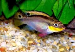 דג הפסים הצבעוני המרהיב ביופיו Striped Kribensis