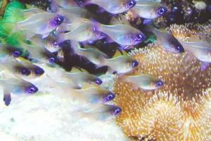 """דג ה""""קרדינאל כחול פסים"""""""