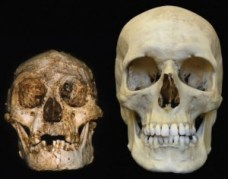להומו פְלוֹרֶסְיֶינסיס (משמאל) היה מוח שגודלו כשליש ממוחו של הומו סאפיינס (ימין) בן זמנו.קרדיט: פיטר בראון
