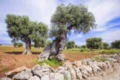 נוף עצי זית באיטליה. צילום: Kite_rin/Shutterstock