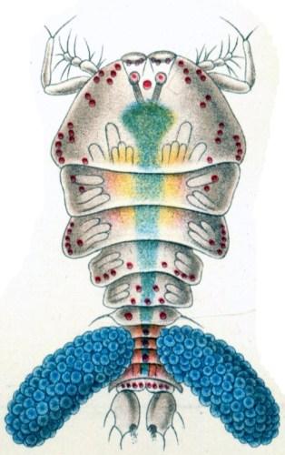 ספיר הים. איור: אמן איורי הטבע הגרמני אנרסט הקל, (1834-1919). מתוך ויקיפדיה