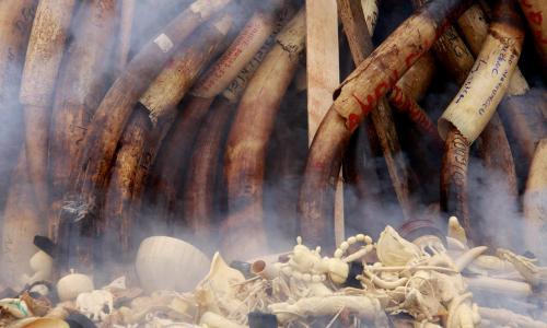 שריפת חטי פילים וקרני קרנפים. צילום: WWF