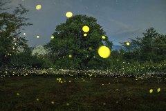 גחליליות ביפן. לגחליליות יש תכונות שהופכות אותן לחשובות במארג האקולוגי תצלום: zabby