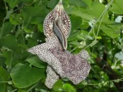 הצמח אריסטולוכיה לביאטה. מקור: ויקיפדיה