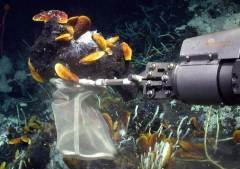 הזרוע הרובוטית של הרכב התת-ימי שולה את הצדפות מקרקעית הים. צילום: MARUM – Center for Marine Environmental Sciences, University of Bremen.