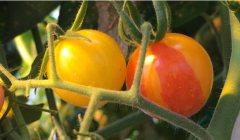 כאשר המדענים שברו את הדי-אן-אי בגן האחראי ליצירת הפיגמנט האדום, הליקופן, הניבו צמחי עגבניות רבים פירות צהובים – ובחלק מהפירות היו מקטעים צהובים (מוטנטים) ואדומים (תקינים). מקור: מגזין מכון ויצמן.