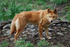 כלב הבר האוסטרלי, דינגו, הוא אחרון הטורפים הילידים ביבשת. צילום: Peripitus / Wikimedia.