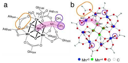 תרשים 2 (Fig 2) מציג את קומפלקס המנגן בטבע (משמאל) לעומת הקומפלקס שפיתחה פרופ'-משנה מעין. אפשר לראות שמוטיב המנגן-חמצן-מנגן-מים (צבוע בוורוד בתמונה), הממלא תפקיד חשוב בפעילות הקומפלקס בטבע, מופיע כמה פעמים בקומפלקס המלאכותי שפותח בטכניון. בנוסף, יוני המנגן בליבת הקומפלקס המלאכותי קשורים לקבוצות של חומצה אורגנית (מסומנת בעיגול צהוב בתמונה), שהן גם הקבוצות הקשורות ליוני המנגן בקומפלקס הטבעי. כמו כן, גם בקומפלקס המלאכותי וגם בטבעי יש מולקולות מים הקשורות בקשר חלש לחלק מיוני המנגן (מסומנות בעיגולים סגולים בתמונה), שהן המולקולות שאיתן הוא מגיב. מקור: דוברות הטכניון.