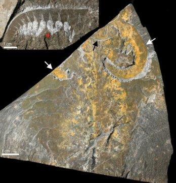 מאובני רקמות רכות של טורף מעידן הקמבריון, השייך למשפחת פרוקי הרגליים. משמאל למעלה: בליטה בחלקו הקדמי של היצור המאופן מראה דמיון לפרוקי הרגליים המודרניים. בפינה הימנית התחתונה: דגימה של גוף מלא של היצור המאובן מראה זוג אחד של גפיים קדמיות (המסומנות בחיצים לבנים) ופה המכיל שיניים (המסומן בחץ שחור) על הראש. צילום: א. דיילי, אוניברסיטת אוקספורד