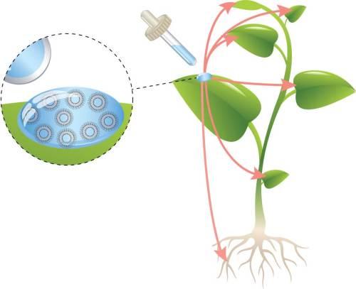 כל ליפוזום (בועה בצבע תכלת) הוטען בחלקיקים של ברזל ומגנזיום. הליפוזומים שרוססו על העלים חדרו לתוכם, התפזרו בכל חלקי הצמח ופרקו את המטען בתוך התאים.