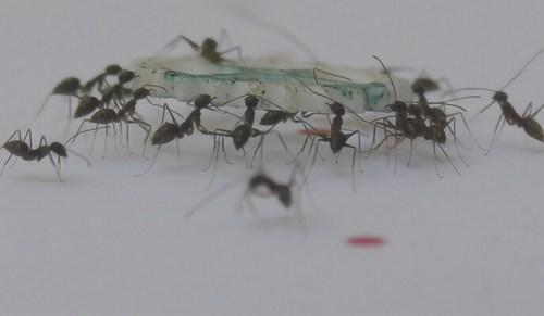 כשנמלה ניגשת לפריט מזון, היא מרגישה את הכוחות שמפעילות הנמלים האחרות שסוחבות אותו, ובהתאם מחליטה אם עליה למשוך את הפריט או להרימו