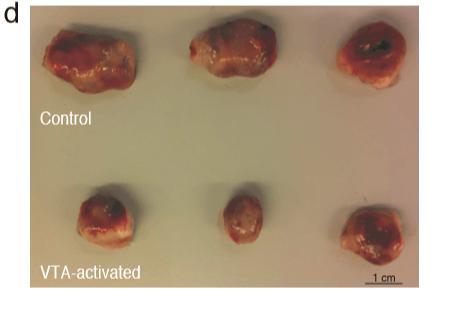 בשורה העליונה נראים הגידולים שהתפתחו בעכברי קבוצת הביקורת, ובשורה התחתונה - גידולים מעכברים שעברו את המניפולציה המוחית. איור: פרופ' אסיה רולס, הטכניון