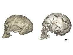 שינויים אבולוציוניים המוח ממוארכת לכדורית התפתחה בתוך השושלת שהובילה להומו סאפיינס באמצעות הרחבה של המוח הקטן והבליטות בקודקוד. משמאל שלד Jebel Irhoud 1  מאפריקה מלפני כ-300 אלף שנה ולצידו Qafzeh 9 מלפני 95 אלף שנה שהתגלה בלבנט. צילום: פיליפ גונץ / מכון מקס פלנק לאנתרופולוגיה אבולוציונית