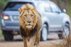 אריה בשמורת קרוגר בדרום אפריקה. צילום: shutterstock