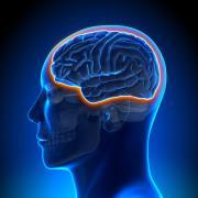 מחסום דם מוח. איור: shutterstock