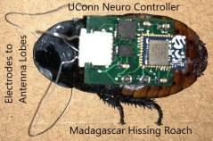 בקר עצבי זעיר שפותח על ידי חוקרים מאוניברסיטת קונטיקט יכול לספק ניתוח מדויק יותר של מיקרו רובוטים ביולוגיים, למשל שימוש בתיקנים במשימות חיפוש והצלה בבניינים שהתמוטטו. איור: אוניברסיטת קונטיקט
