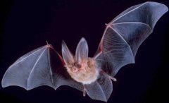 עטלף סדוק פנים, מין עטלפים בעלי אוזניים גדולות ששימש השראה לרחפן המנווט אוטונומית בחשכה. מתוך ויקיפדיה