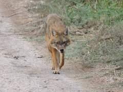 תן בעמק בית שאן, נובמבר 2017, עם חשד לכלבת. היה אפטי לגמרי והתקדם לעבר הרכב של הצלם ללא חשש. צילום: אביחי רן