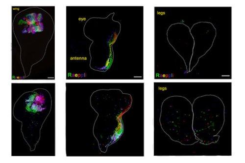 התאים המסומנים בצבעים פלואורסצנטיים ברקמות הראשיתיות של הכנף (שמאל), העין (מרכז) או הרגל (ימין) בזחל זבוב הפירות, אינם נודדים כאשר יש בהם פעילות רגילה של קספאזות (שורה עליונה). כאשר מוציאים את הקספאזות, מתחילים תאים אלה לנדוד לאחר הקרנות לחלקים אחרים של הרקמה (שורה תחתונה)