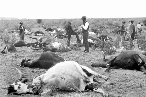 פרות מתות ממחלות המועברות על ידי זבוב הצהצה, דרום אפריקה, 1896. מתוך ויקיפדיה