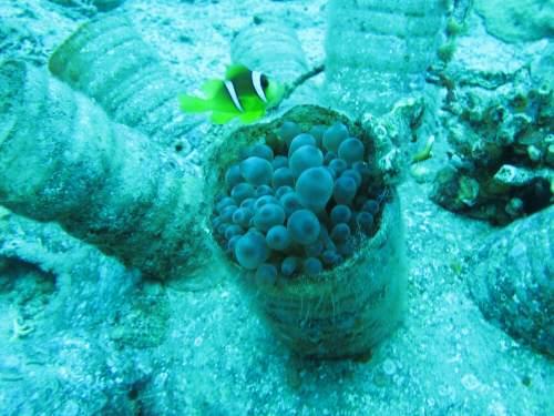 פסולת פלסטיק על גבי מלפפון ים. שונית האלמוגים באילת. צילום: גיארמו בן-נעים אנדרסון.