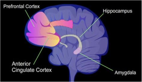 אזורי מפתח במוח ממלאים תפקיד ביצירת זיכרונות. האמיגדלה חיונית לזיכרונות בעלי תוכן רגשי, וההיפוקמפוס מעורב ביצירת זיכרונות של חוויות. מעבדתי ביצעה ניסוי בעכברים שהראה שתאים שהגברנו בהם את הכמות של חלבון הקרוי CREB, משתתפים בסבירות גבוהה יותר בקידוד זיכרונות. – א.ג'.ס. איור: NIMH.
