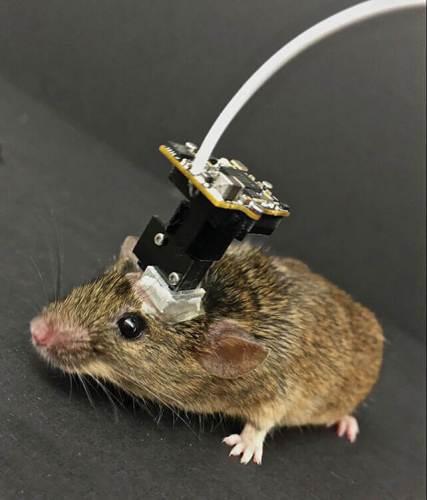 מיקרוסקופ המחובר לראש של עכבר חי מאפשר לחוקרים לבחון את פעילות תאי המוח שאוצרים זיכרונות. תמונה: באדיבות דניס ג' קאי, המכון האינטגרטיבי ללמידה וזיכרון, אוניברסיטת קליפורניה בלוס אנג'לס.