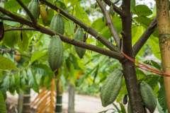 """עץ קקאו נושא פרי בתוך מטע. צילום"""" shutterstock"""