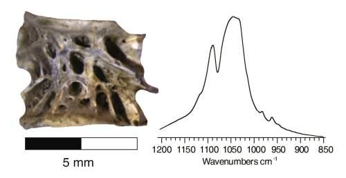 """עצם סלמון ארכיאולוגית (שמאל) והחותמת המינרלית הייחודית בשיטת קרינה אינפרא-אדומה (ימין). הוכן ע""""י דון באטלר"""
