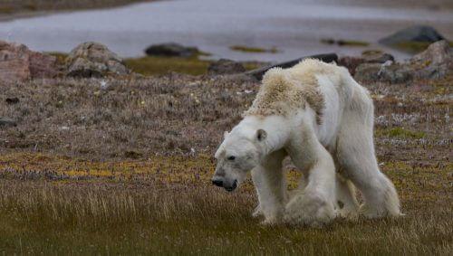 החוג הארקטי הוא אחד הראשונים להיפגע מההתחממות. תצלום: פול ניקלן