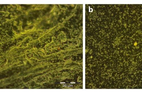 תמונות ממיקרוסקופ אופטי: נייר (משמאל) וחומר גמיש הבנוי מקפטון, מצופים בחומר המיוצר מאנלוגים של מלנין