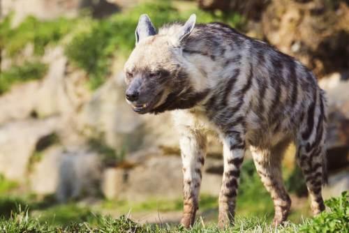 צבוע מפוספס (Hyaena hyaena). צילום: shutterstock