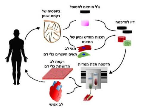תהליך הפקת תאי לב מתאי גזע מושרים והדפסת הלב במדפסת תלת ממד. איור: מעבדתו של פרופ' טל דביר, אוניברסיטת תל אביב
