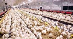 לול תרנגולות בשעת ההאכלה. צילום: shutterstock