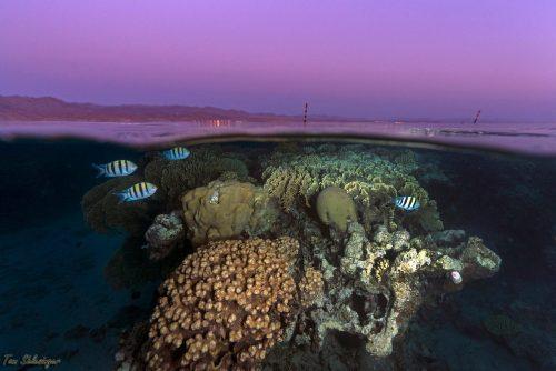 שונית האלמוגים במפרץ אילת בשעת שקיעה. צילום: תום שלזינגר
