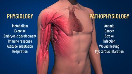 איור 2 המנגנון לחישת חמצן שעליו זכו חתני פרס הנובל לשנה זו הוא בעל חשיבות בסיסית בפיזיולוגיה, למשל, עבור המטבוליזם ומערכת החיסון שלנו ועבור היכולת שלנו להתאמן ברמות נמרצות משתנות. גם תהליכים פתולוגיים רבים מושפעים ממנגנון זה. חוקרים רבים מתמקדים היום בפיתוח תרופות חדשות שתוכלנה לעכב או לשפעל את מנגנון חישת החמצן, זאת במטרה לשפר את הטיפולים באנמיה, סרטן ומחלות אחרות. איור: ועדת פרס נובל לרפואה