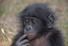 שימפנזה צעיר, צלם: Pierre-Fidenci, ויקימדיה